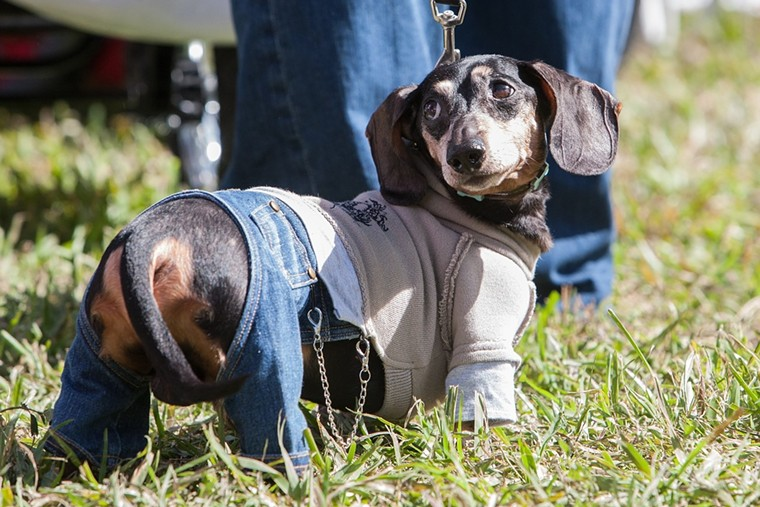 Dachshunds will invade TY Park this weekend. See Saturday. - PHOTO BY MONICA MCGIVERN