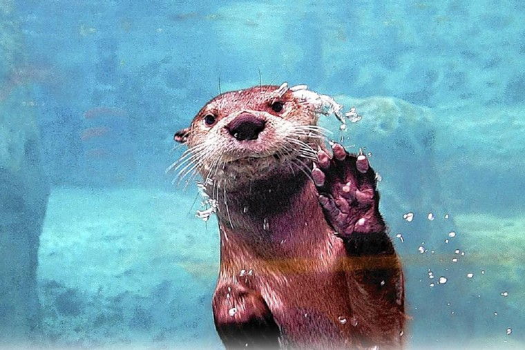 Fort Lauderdale's Museum of Discovery and Science hosts an Otter Encounter on Wednesdays, Saturdays, and Sundays. - PHOTO COURTESY OF MODS